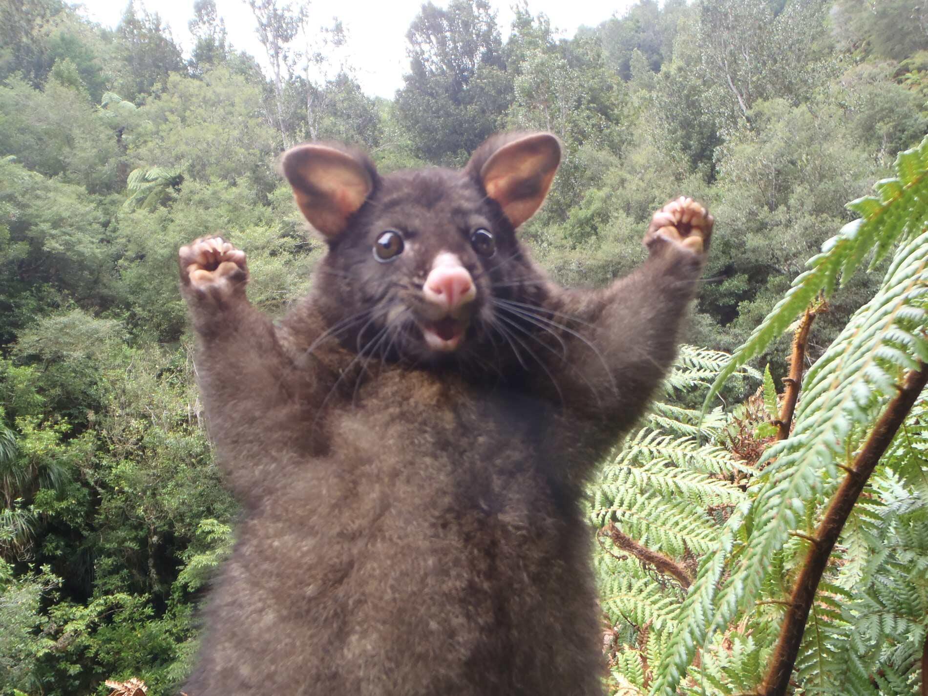 Bild zu Possum