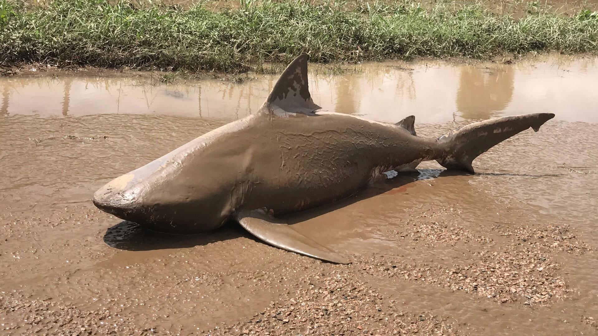 Bild zu Gestrandeter Hai in AUstralien