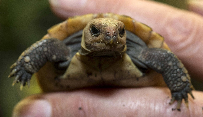 Bild zu Gelbkopfschildkröte
