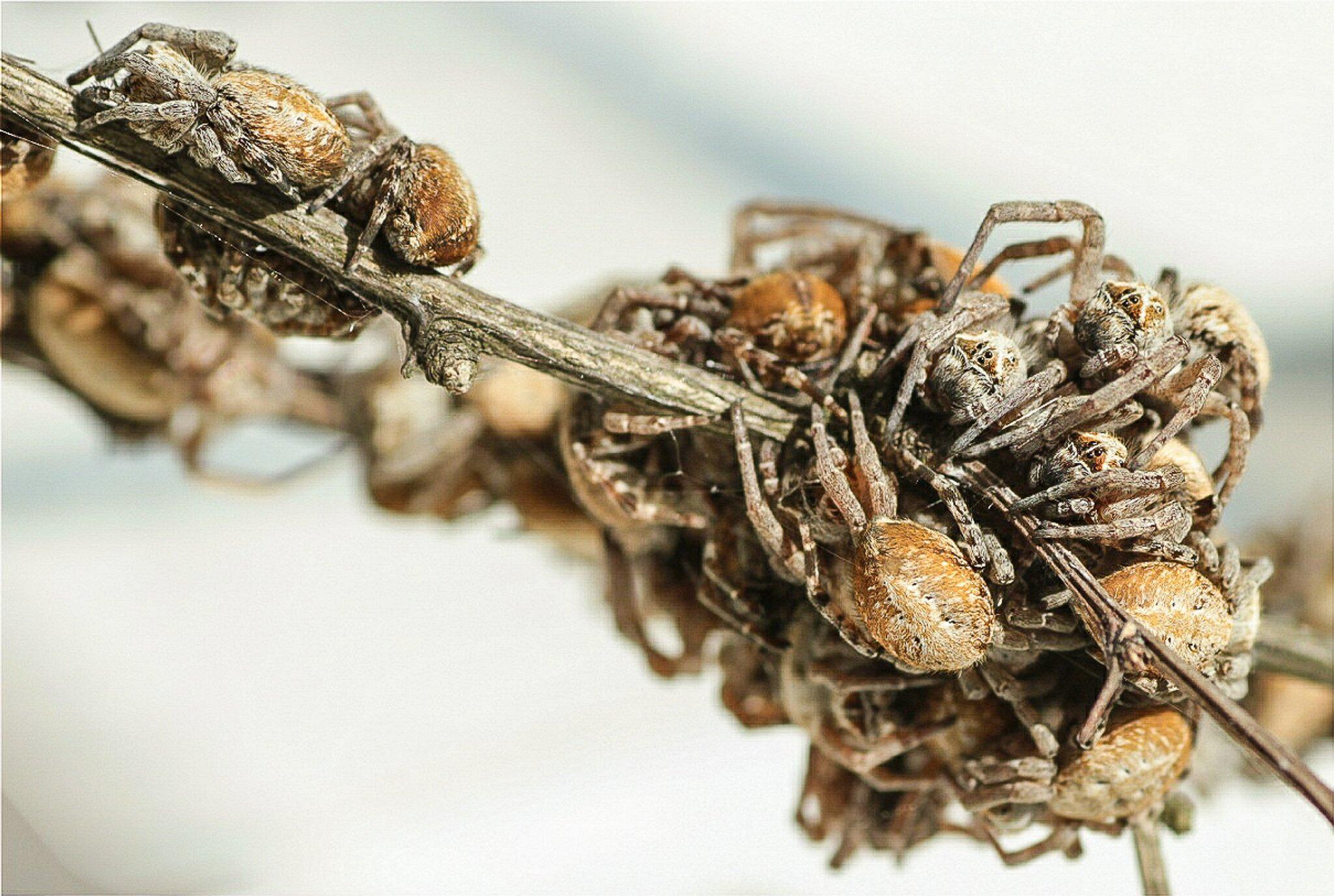 Bild zu Spinne Stegodyphus dumicola