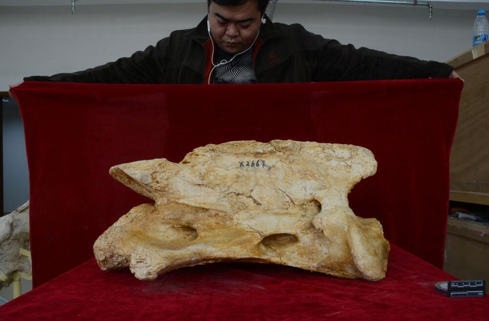 Riesennashorn-Knochen