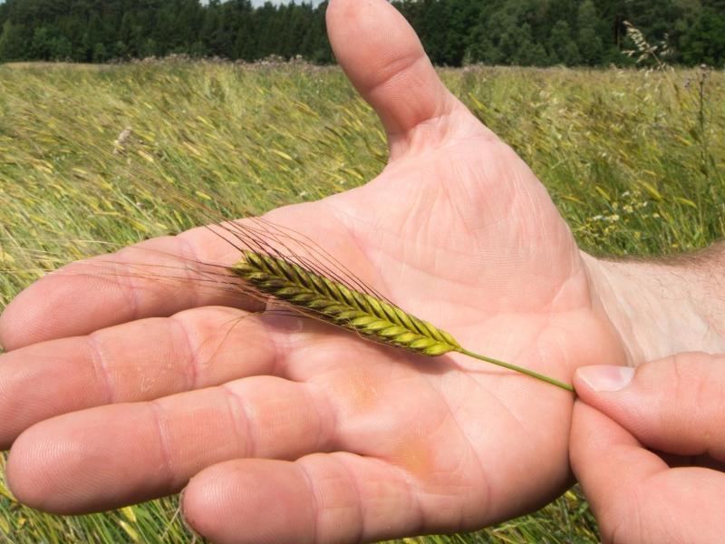Bild zu Getreidesorte Einkorn auf einer Hand