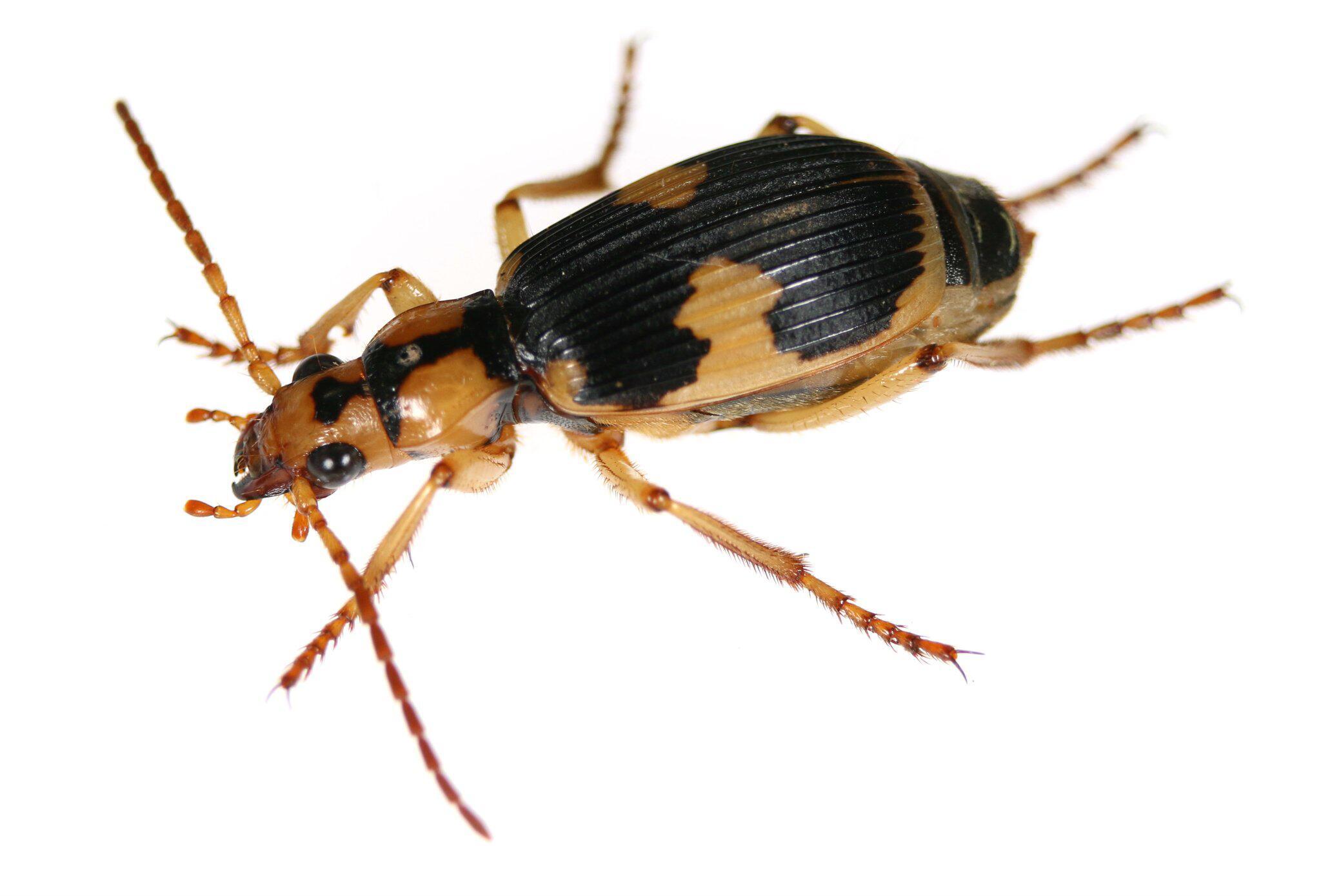 Bild zu «Furzende» Käfer lassen sich von Kröten wieder auswürgen