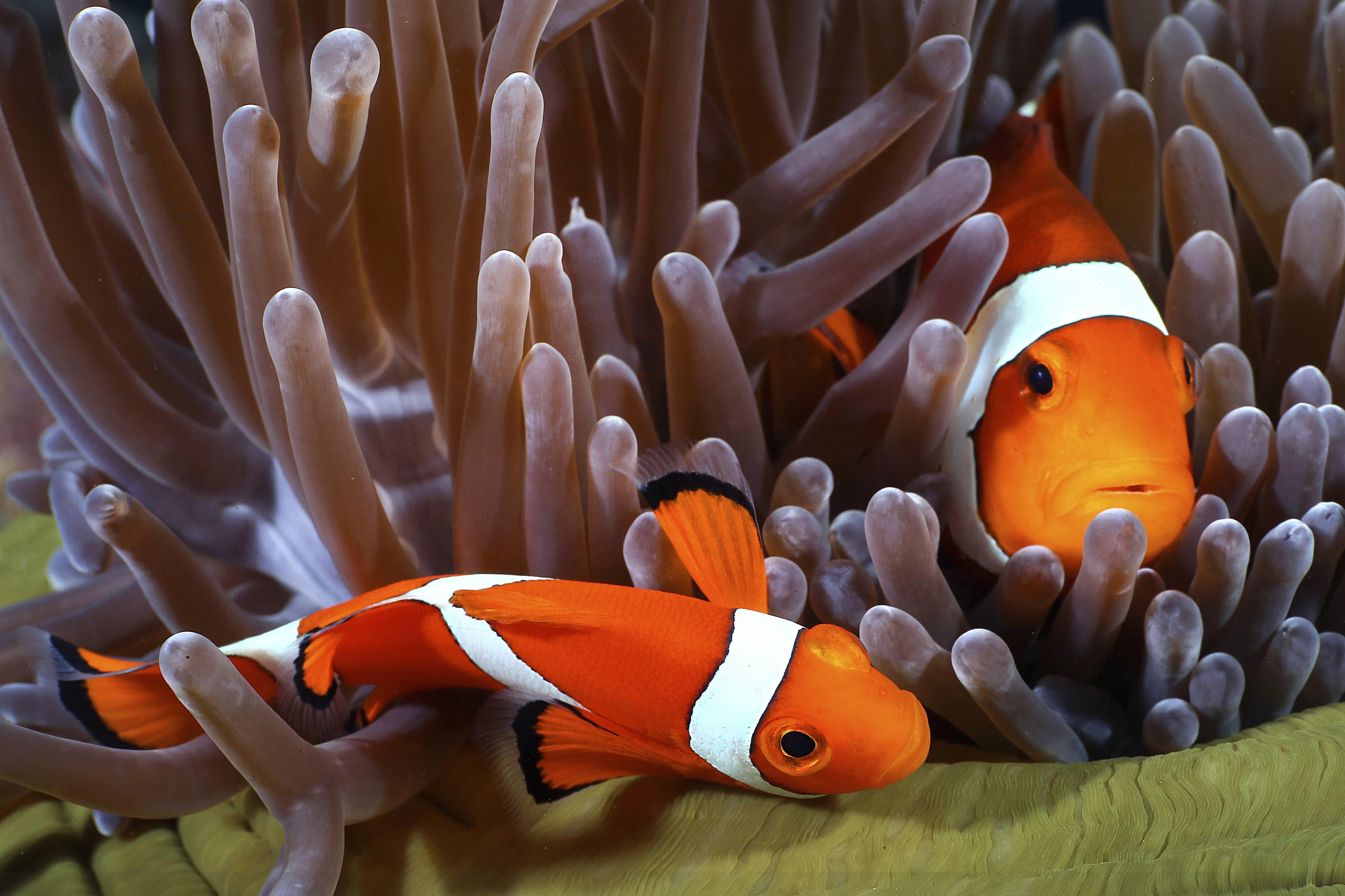 Bild zu Findet Nemo Clownfisch