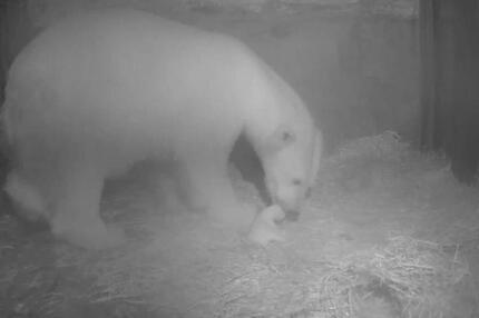 Eisbären-Nachwuchs