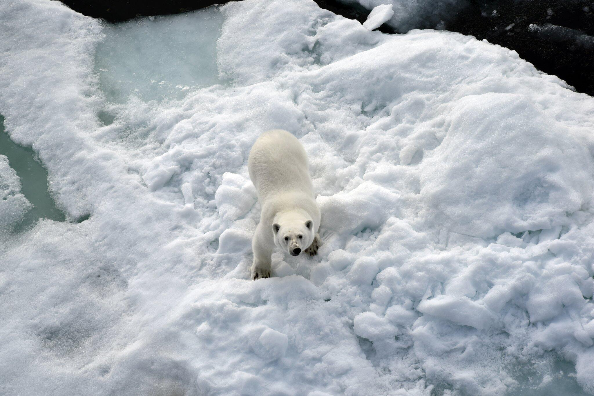Bild zu Eisbär im Nordpolarmeer