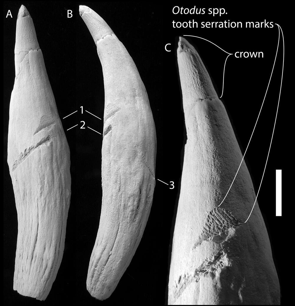 Zahn eines Pottwals