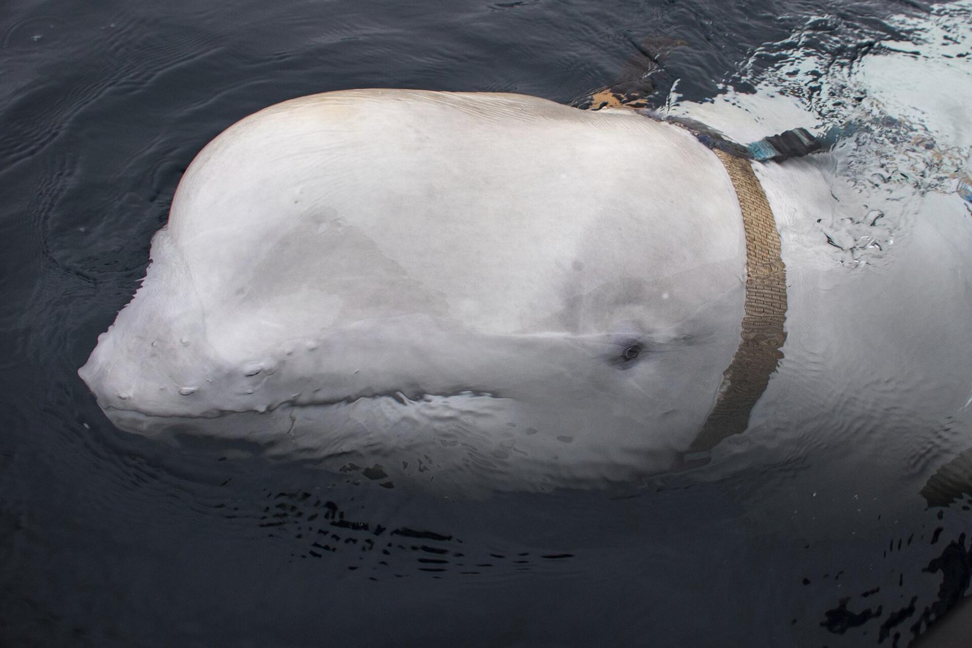 Bild zu Norwegische Fischer befreien Beluga-Wal von Geschirr