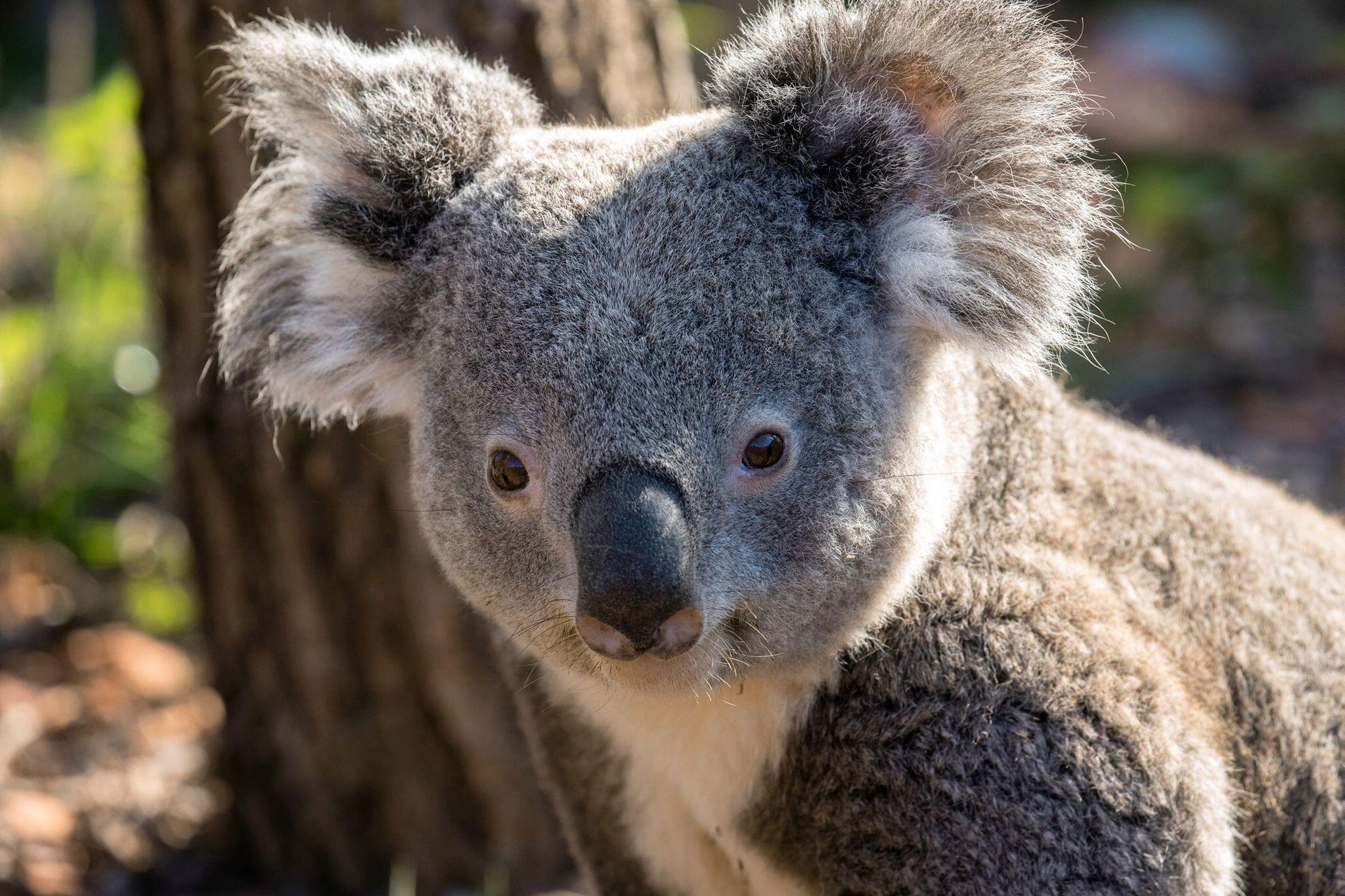 Koala Hamburg