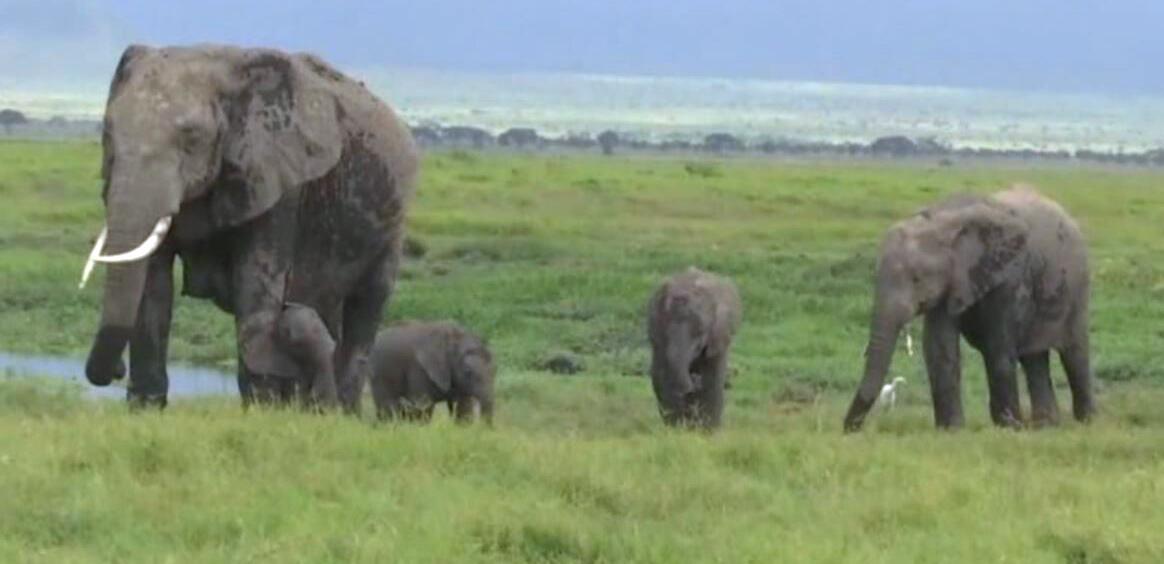 Bild zu Elefanten, Zwillinge, Geburt, NAtionalpark, Kenia