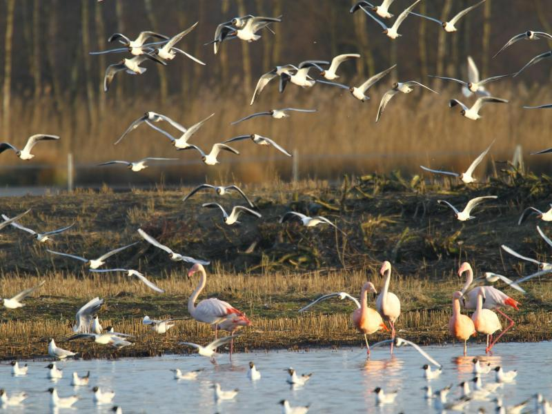 Bild zu Flamingos und Lachmöwen