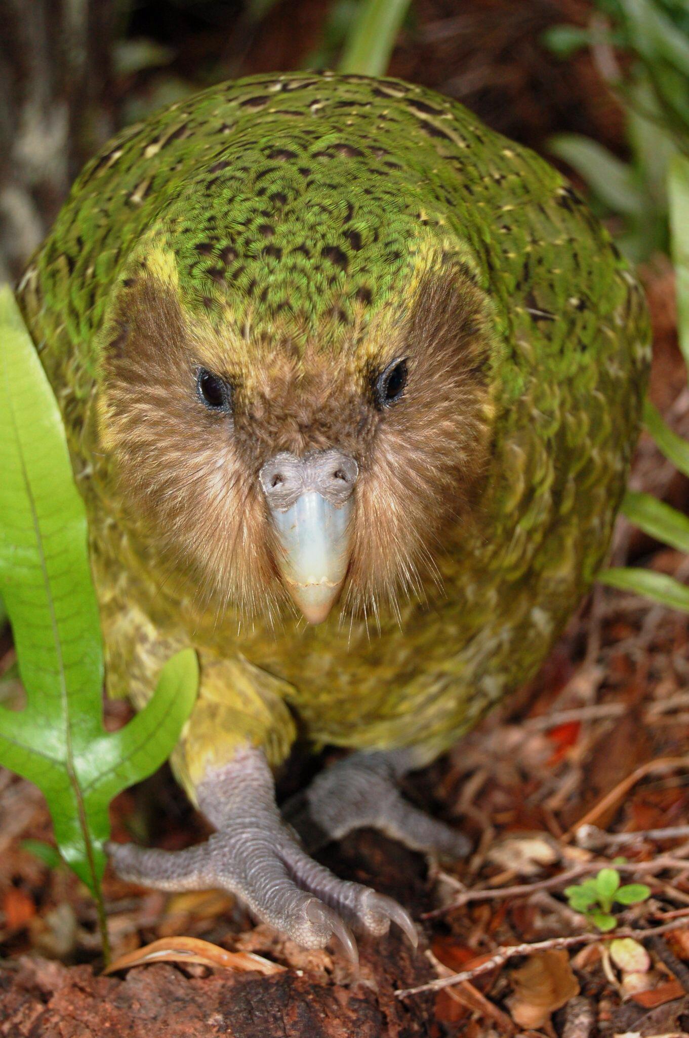 Bild zu Sirocco der Kakapo
