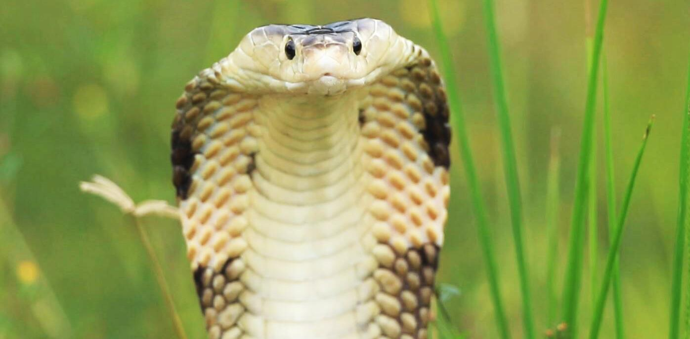 Bild zu Kobra, Kobragift
