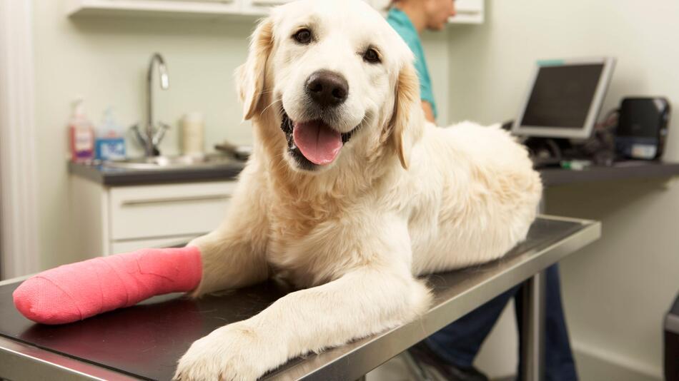 Hund, verletzte Pfote