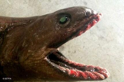 Prähistorischer Kragenhai