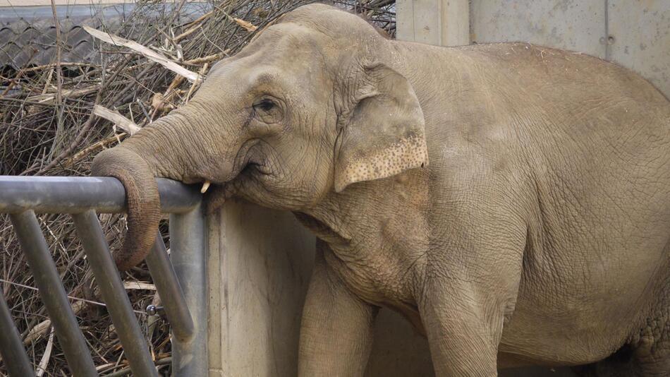 Augsburger Zoo-Elefant Burma tot