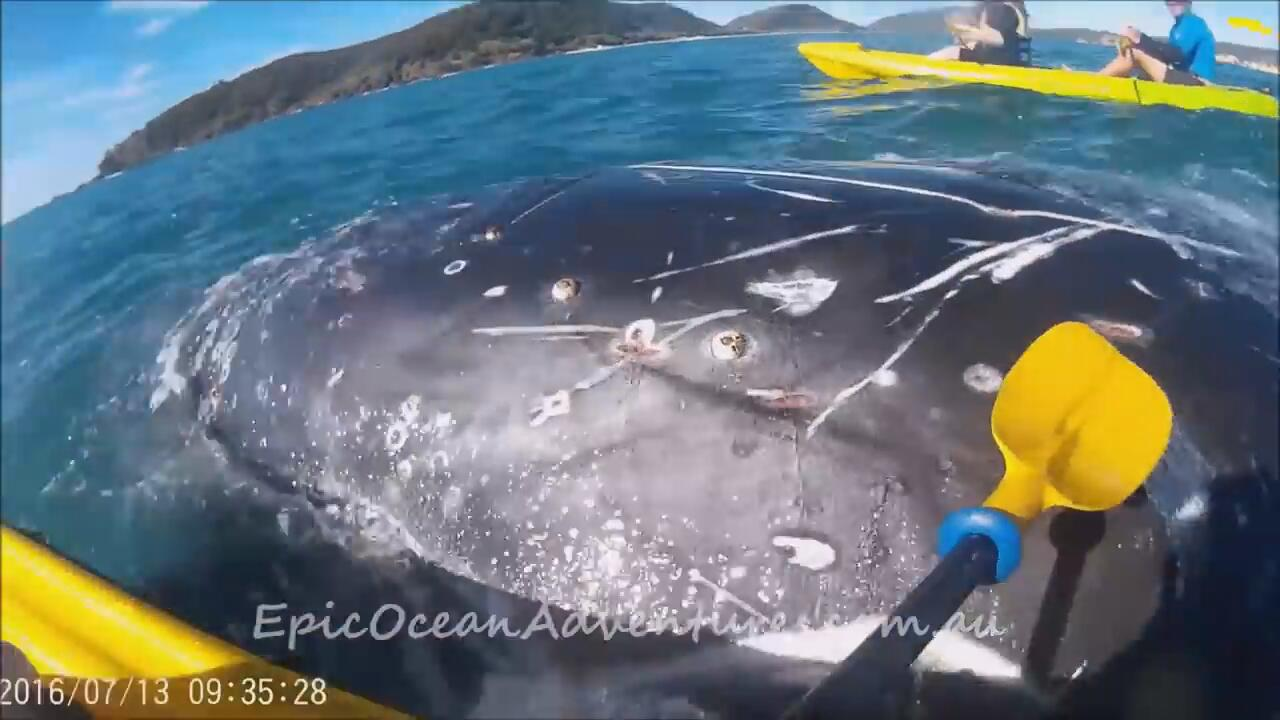 Bild zu Buckelwal Wasser Kajak