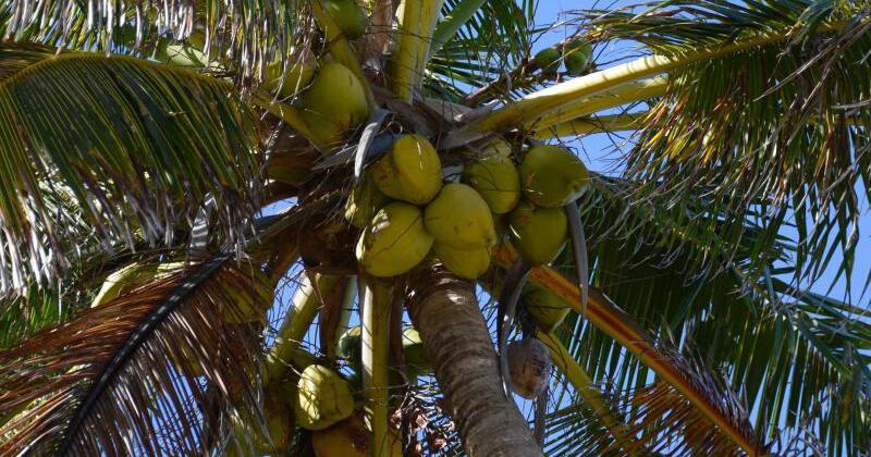 gesundheitliche vorteile von kokos l sind nicht bewiesen gmx at. Black Bedroom Furniture Sets. Home Design Ideas