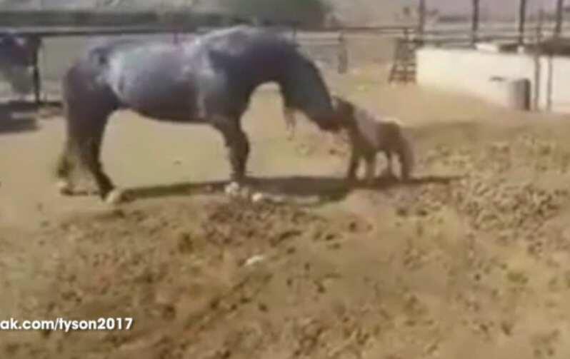 Bild zu Pferd tritt Fohlen