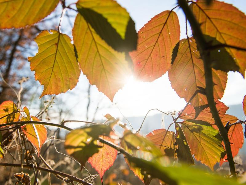 Bild zu Leuchtende Brombeerblätter