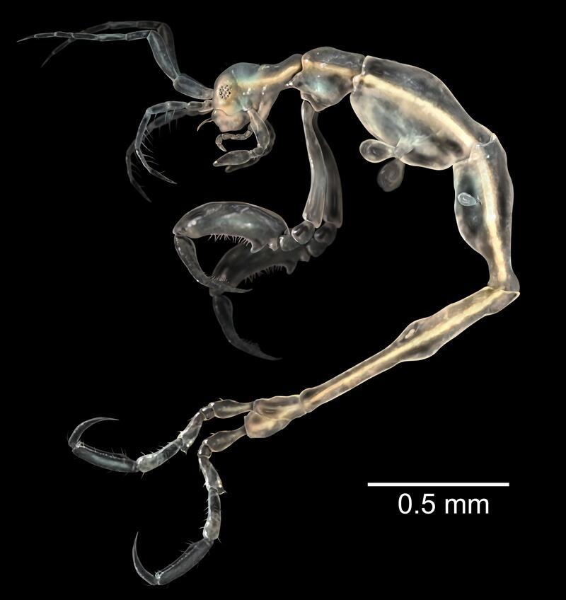 Bild zu Skeleton Shrimp (Liropus minusculus)