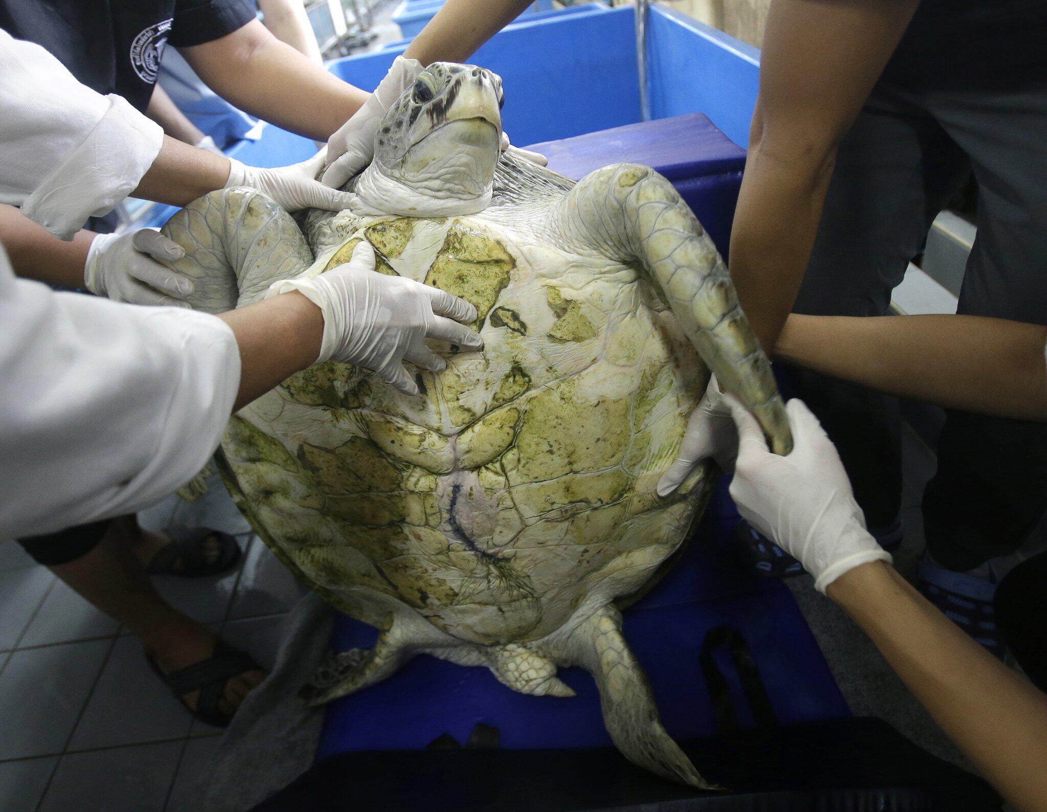 Bild zu Schildkröte aus Thailand