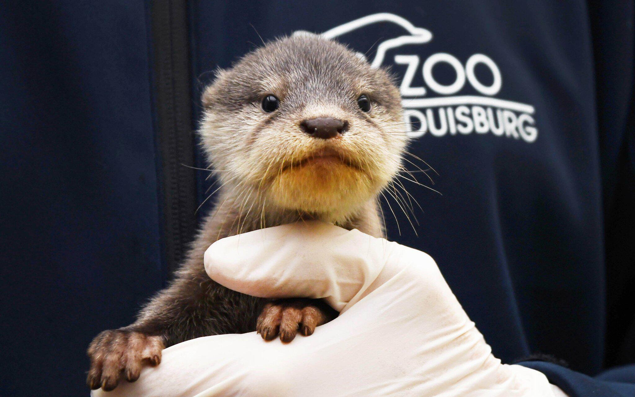 Bild zu Zwergotter-Nachwuchs im Zoo Duisburg