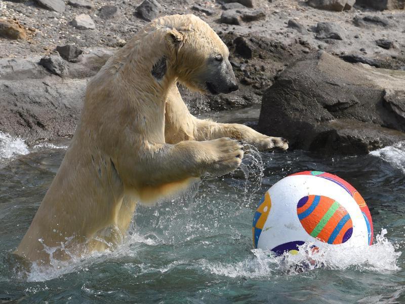 Bild zu Eisbär Nanuq