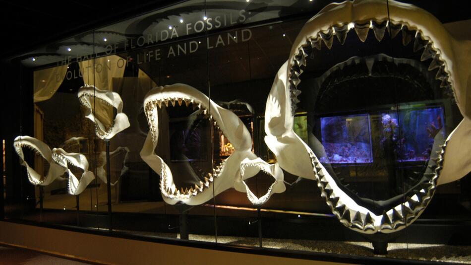 Urzeitlicher Riesenhai Megalodon