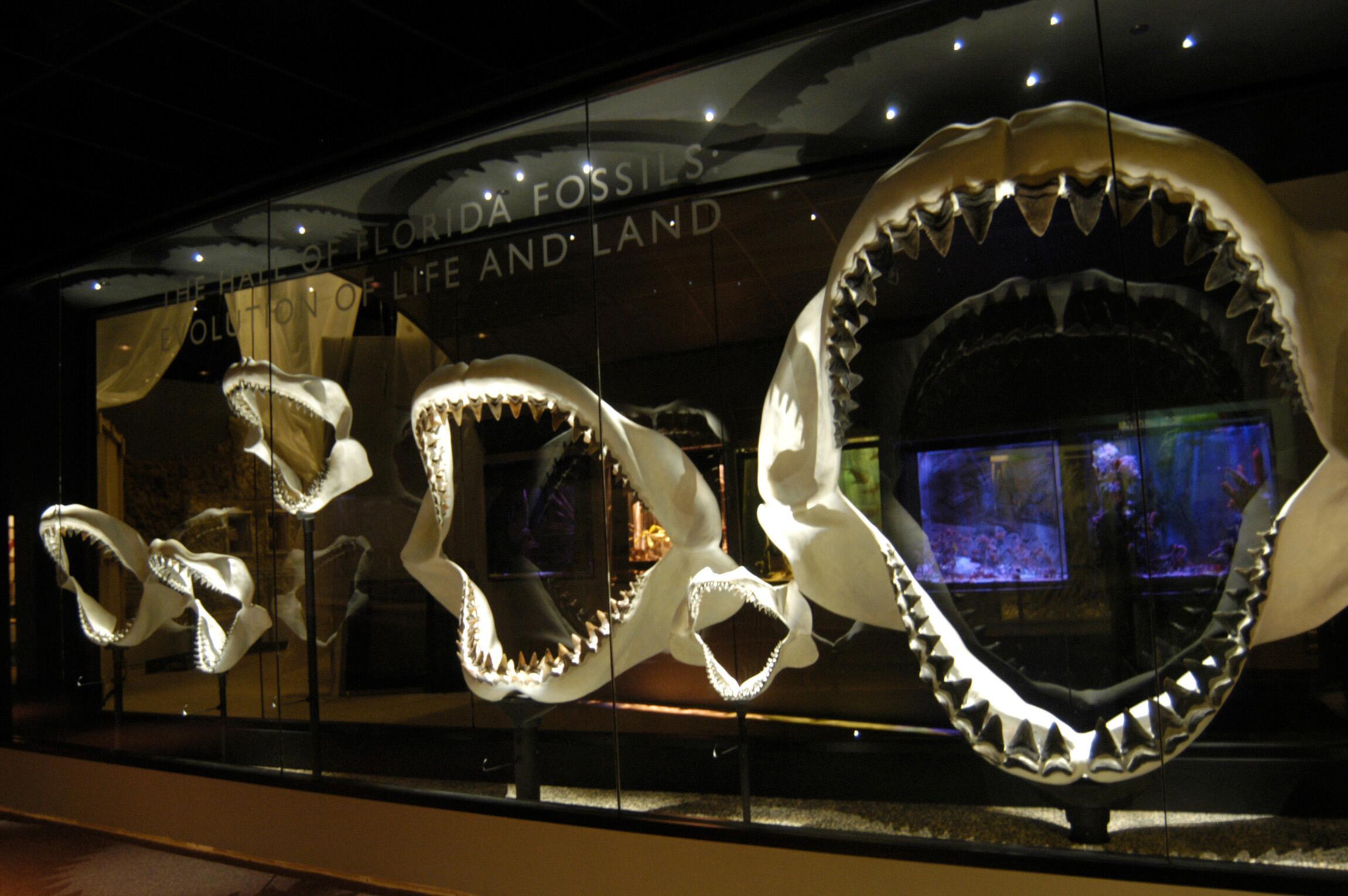 Bild zu Urzeitlicher Riesenhai Megalodon