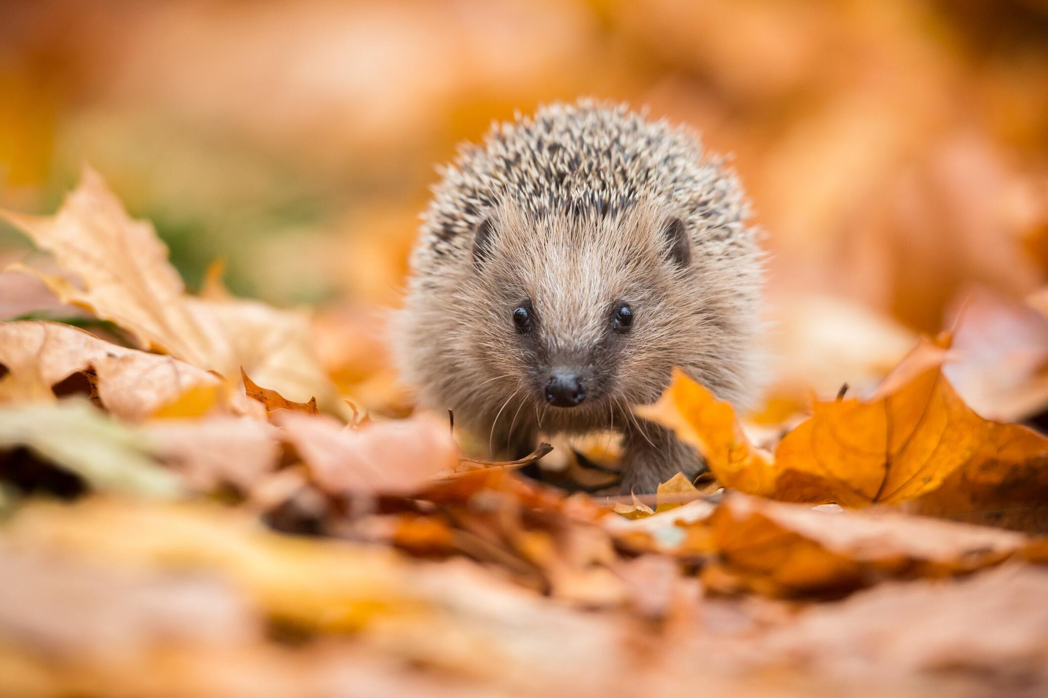 Bild zu Herbst, Igel, Garten, helfen, Winter, Igelnachwuchs