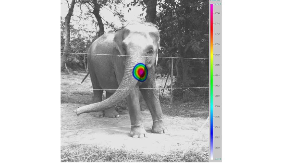 Asiatische Elefanten quietschen mit den Lippen