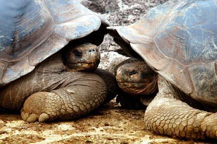 Riesenschildkröten auf Galapagos