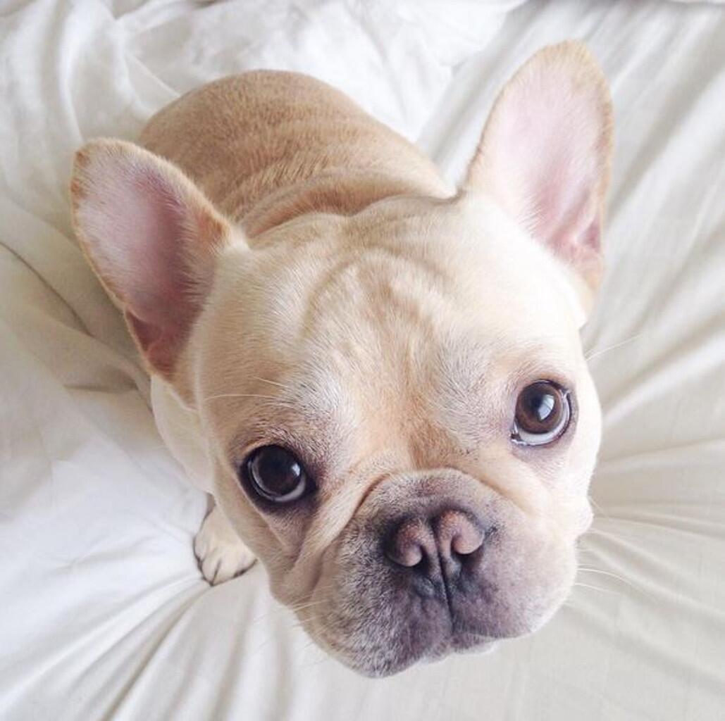 Bild zu Französische Bulldogge, Instagram