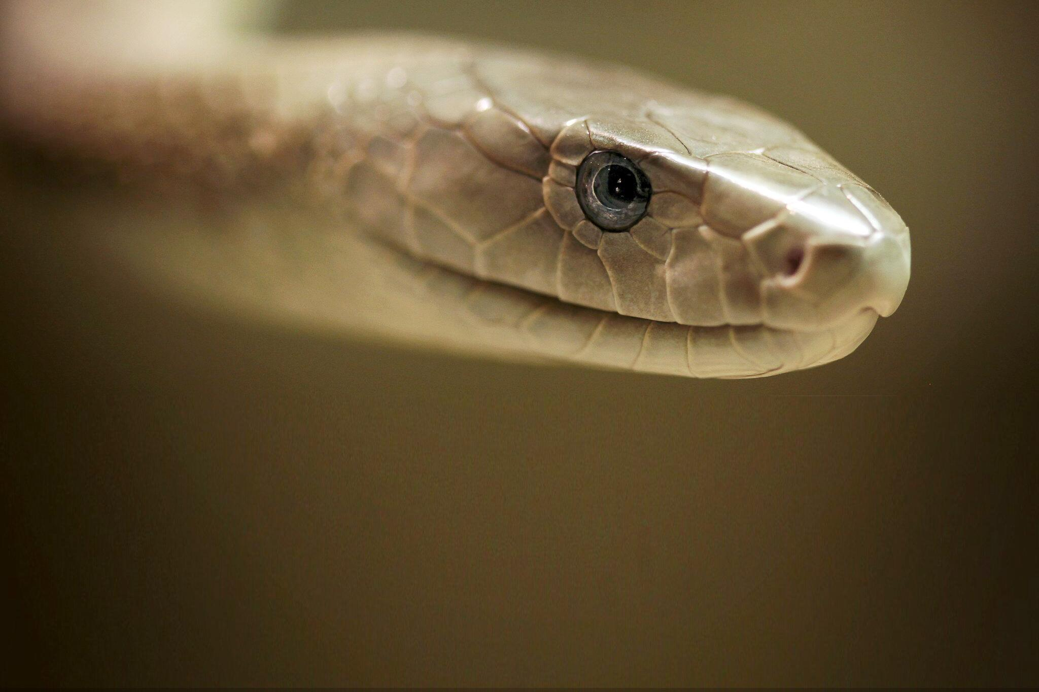 Bild zu Schlangen, Giftschlangen, Tote, Bisse, WHO, Weltgesundheitsorganisation, Schwarze Mamba, Afrika