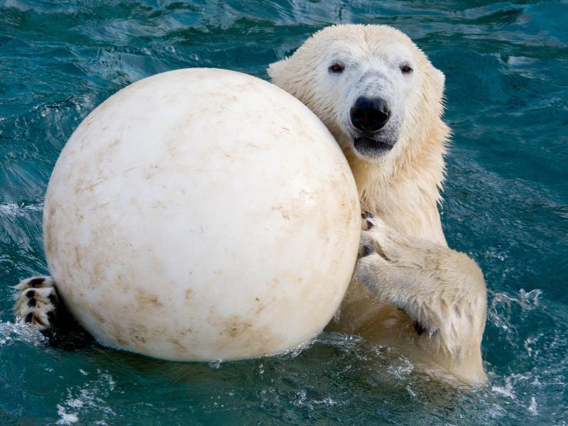 Bild zu Eisbär mit Spielzeug