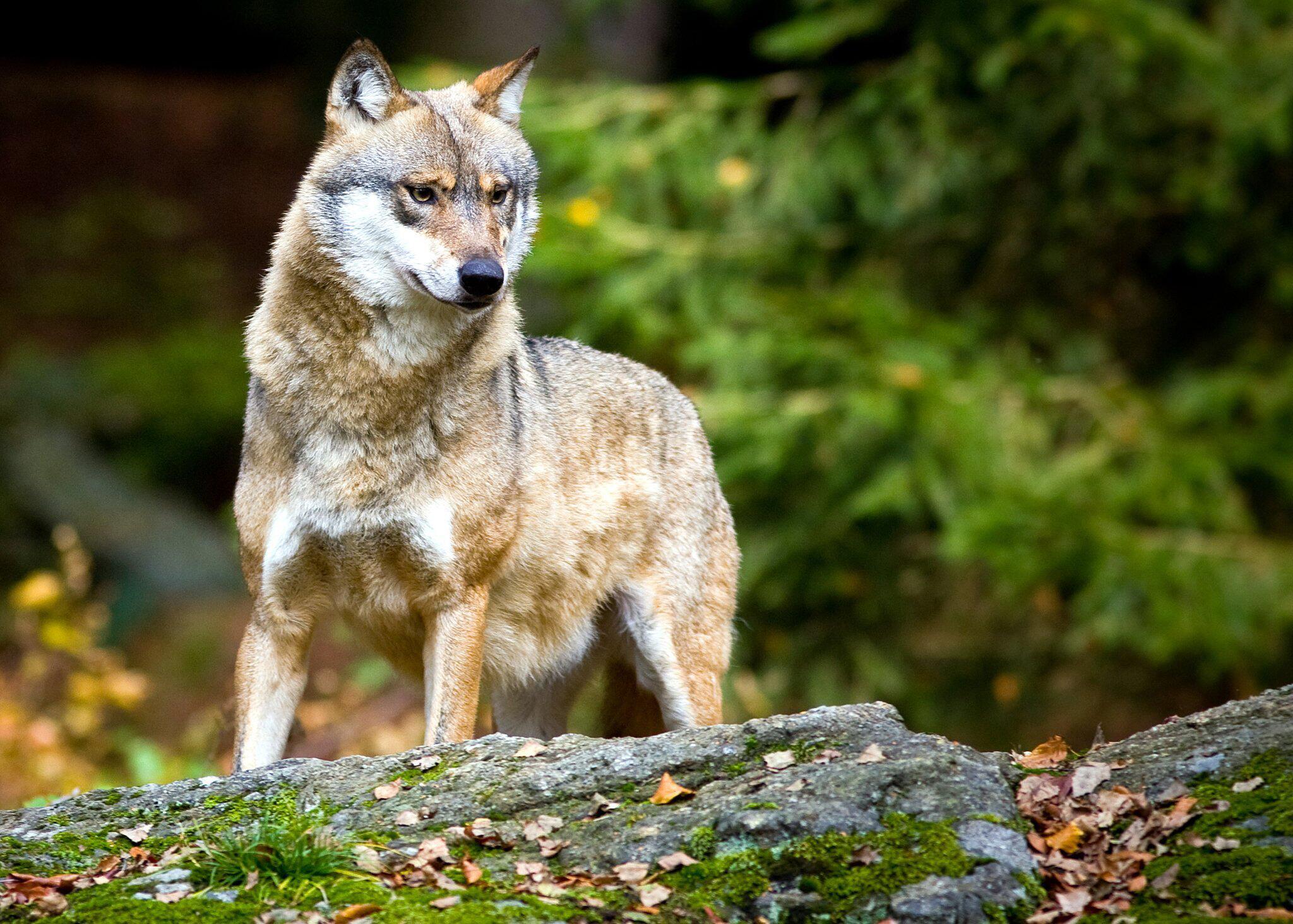 Bild zu Wölfe in Deutschland