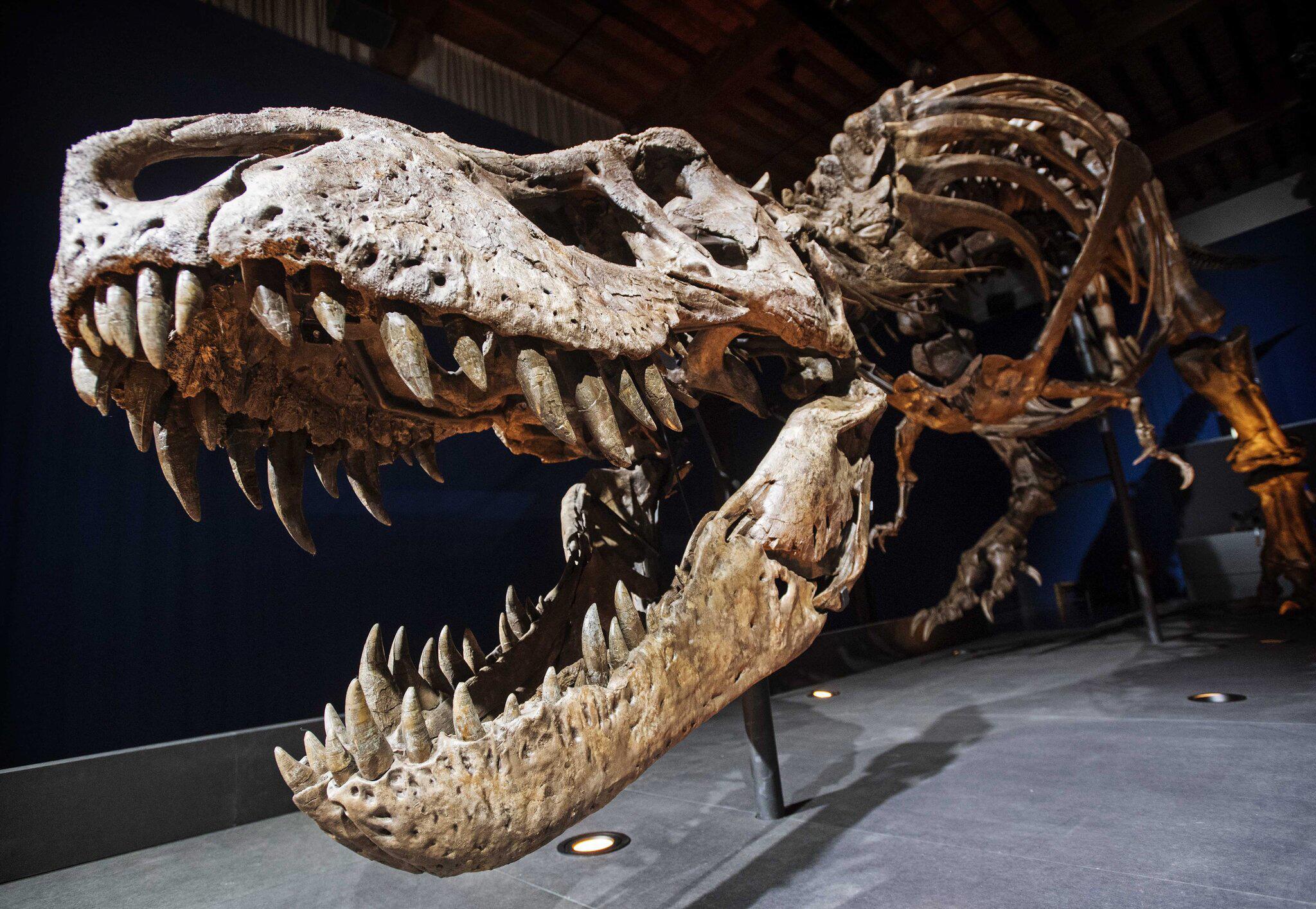 Bild zu Tyrannosaurus rex