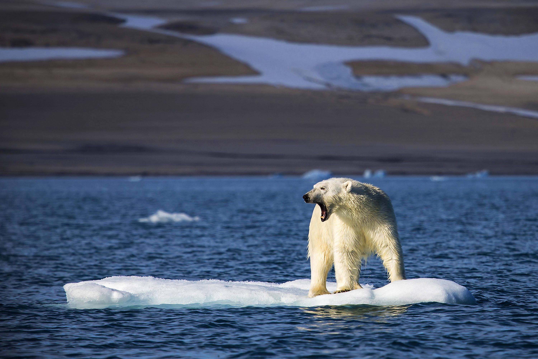 Eisbären Heute