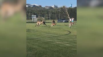 Bild zu Fußball, Australien, Känguru,