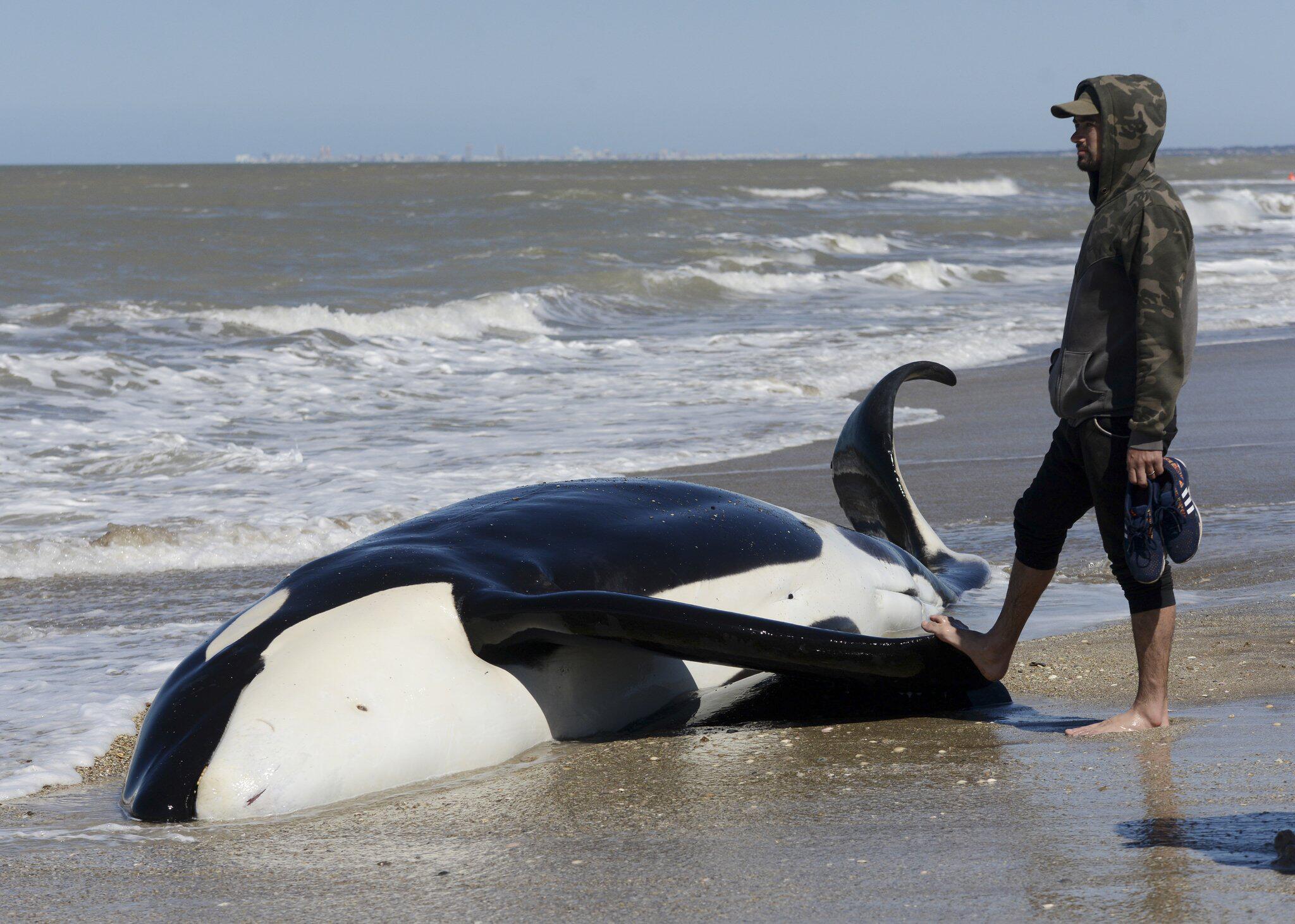 Bild zu Sieben Schwertwale an argentinischer Atlantikküste gestrandet