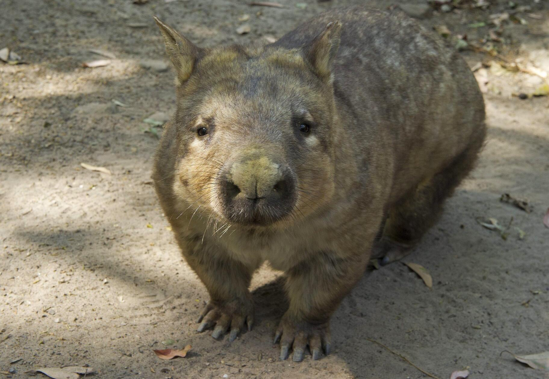Bild zu Wombat