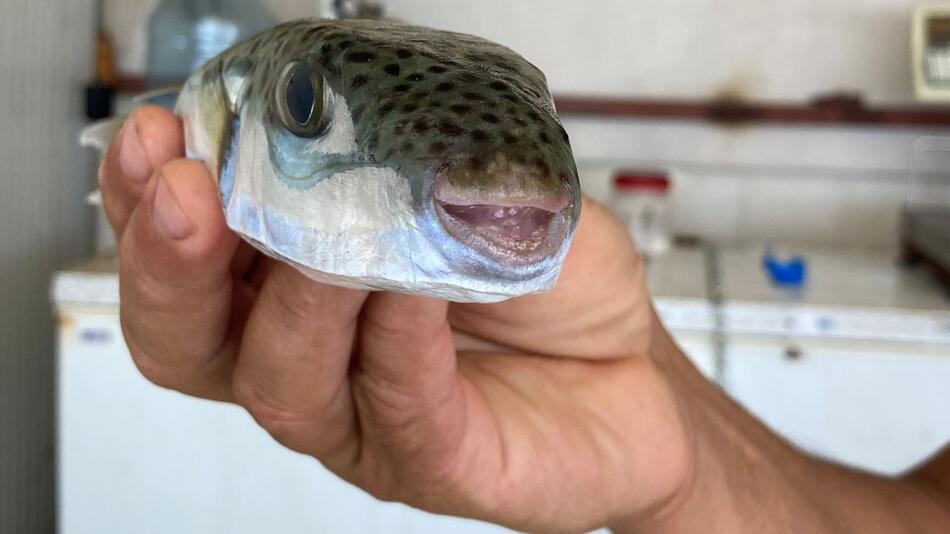 Kugelfisch breitet sich an türkischer Mittelmeerküste aus