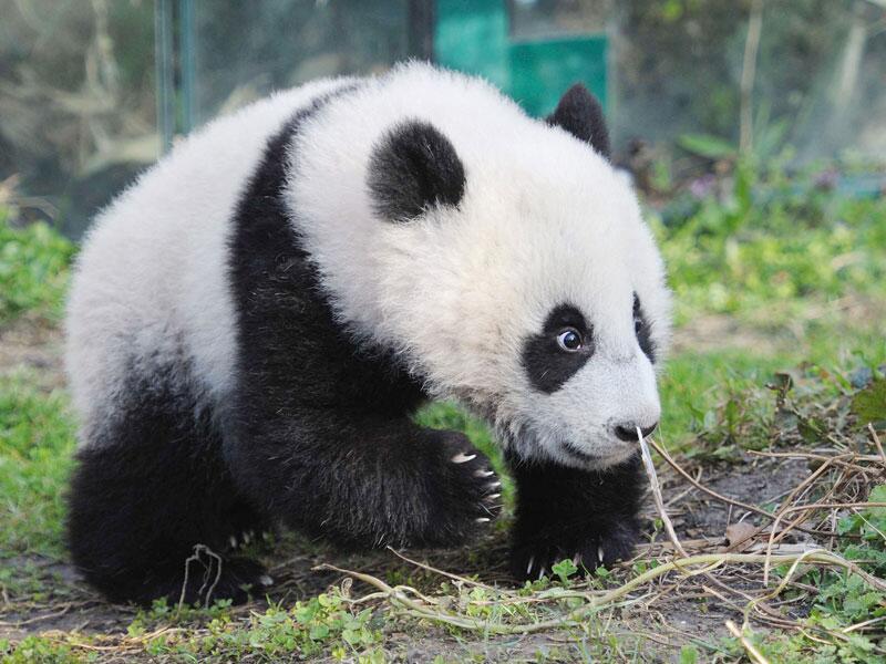Bild zu Pandababy Fu Hu