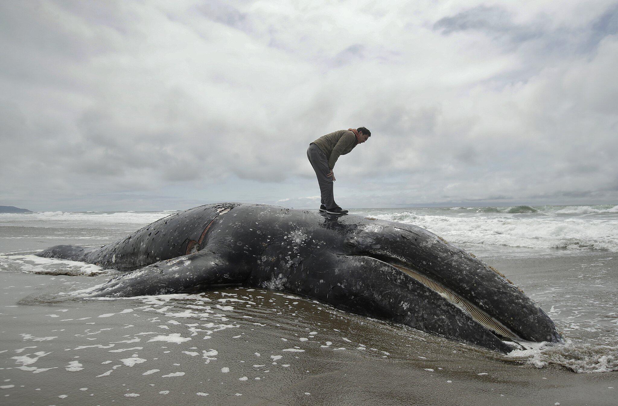 Bild zu Tote Grauwale an US-Küste