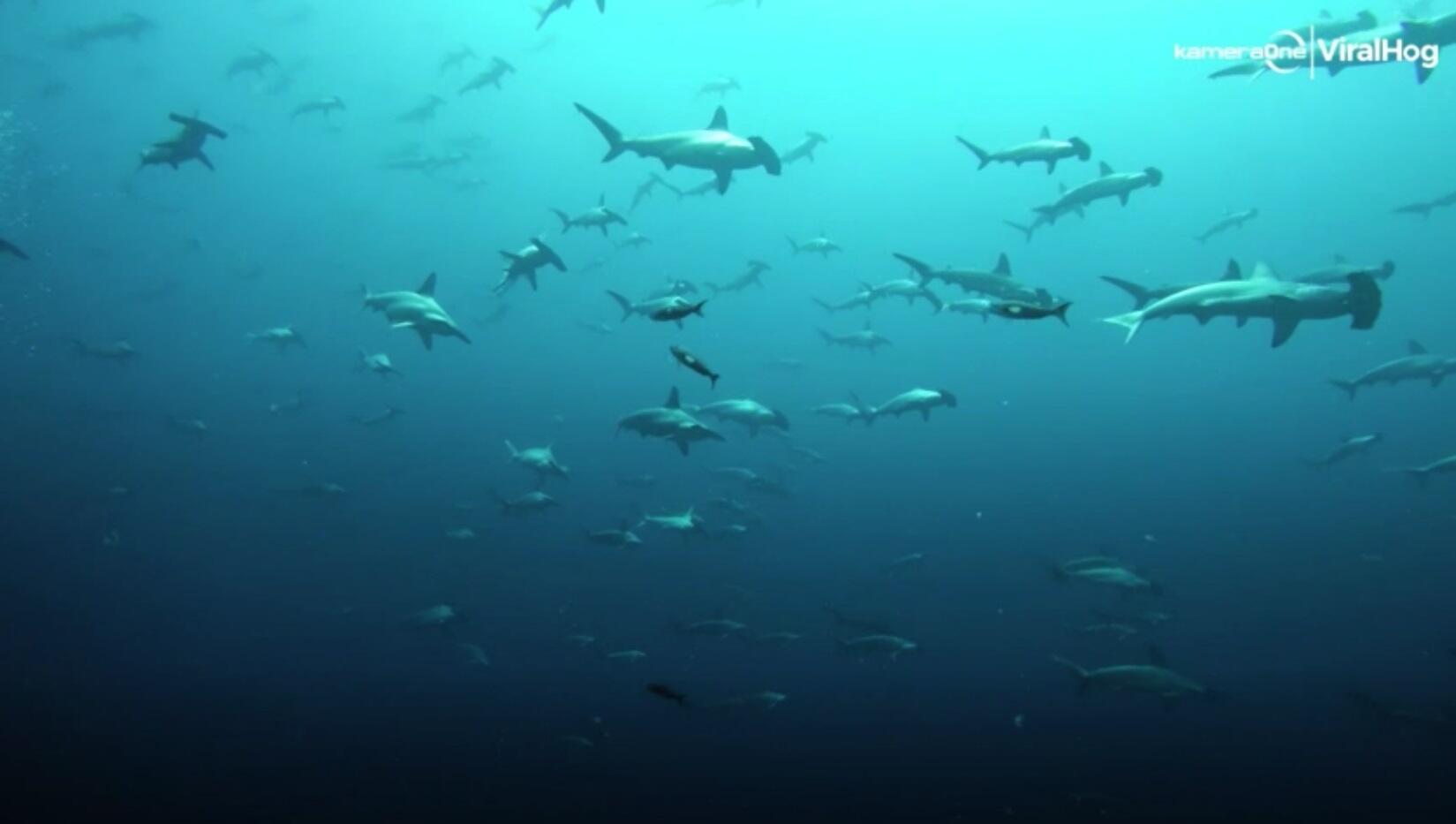 Bild zu Hammerhai