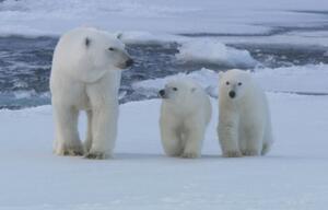 Eisbären, Siedlungen, Klima