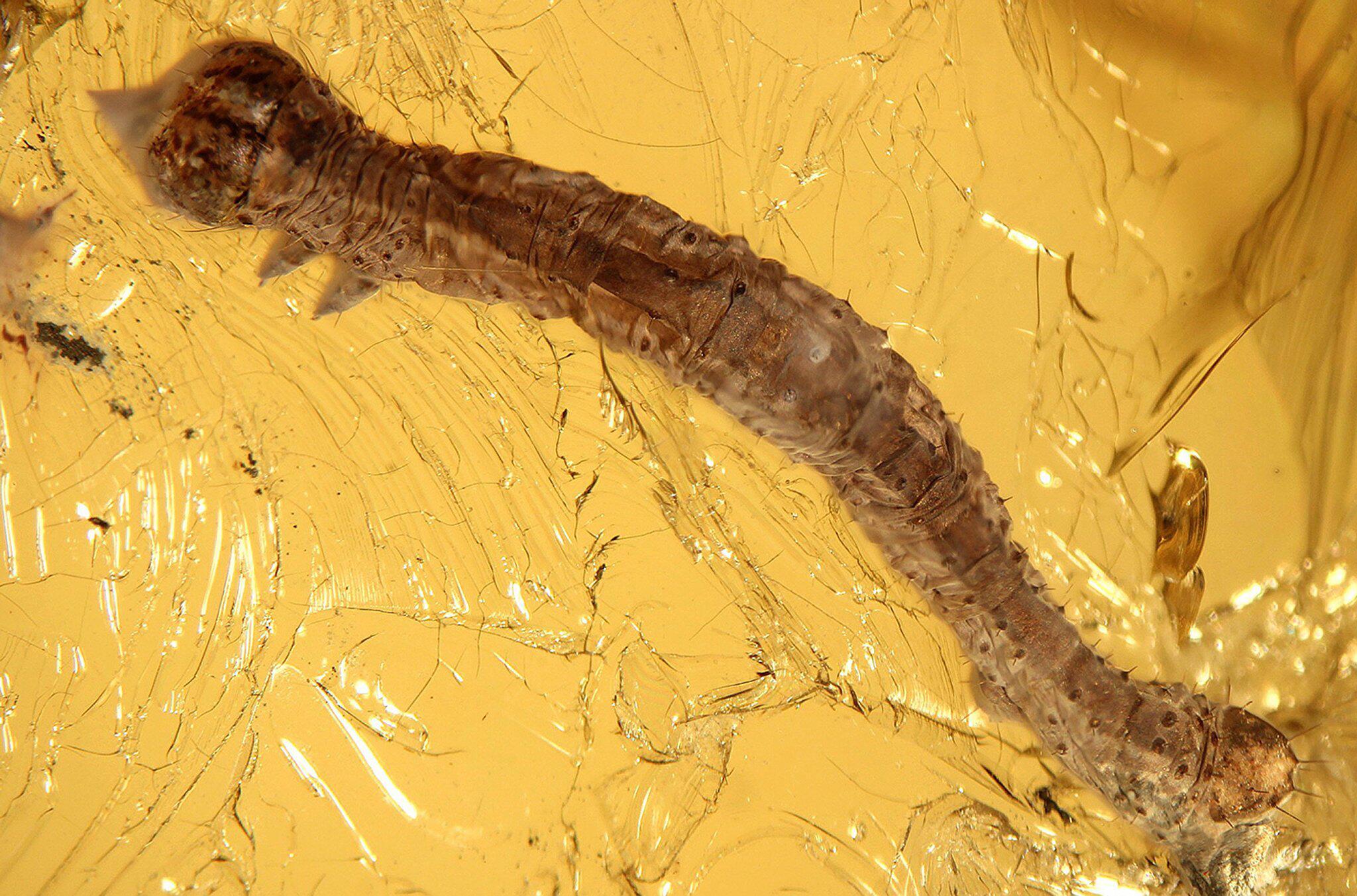 Bild zu 44 Millionen Jahre alte Raupe in Bernstein entdeckt