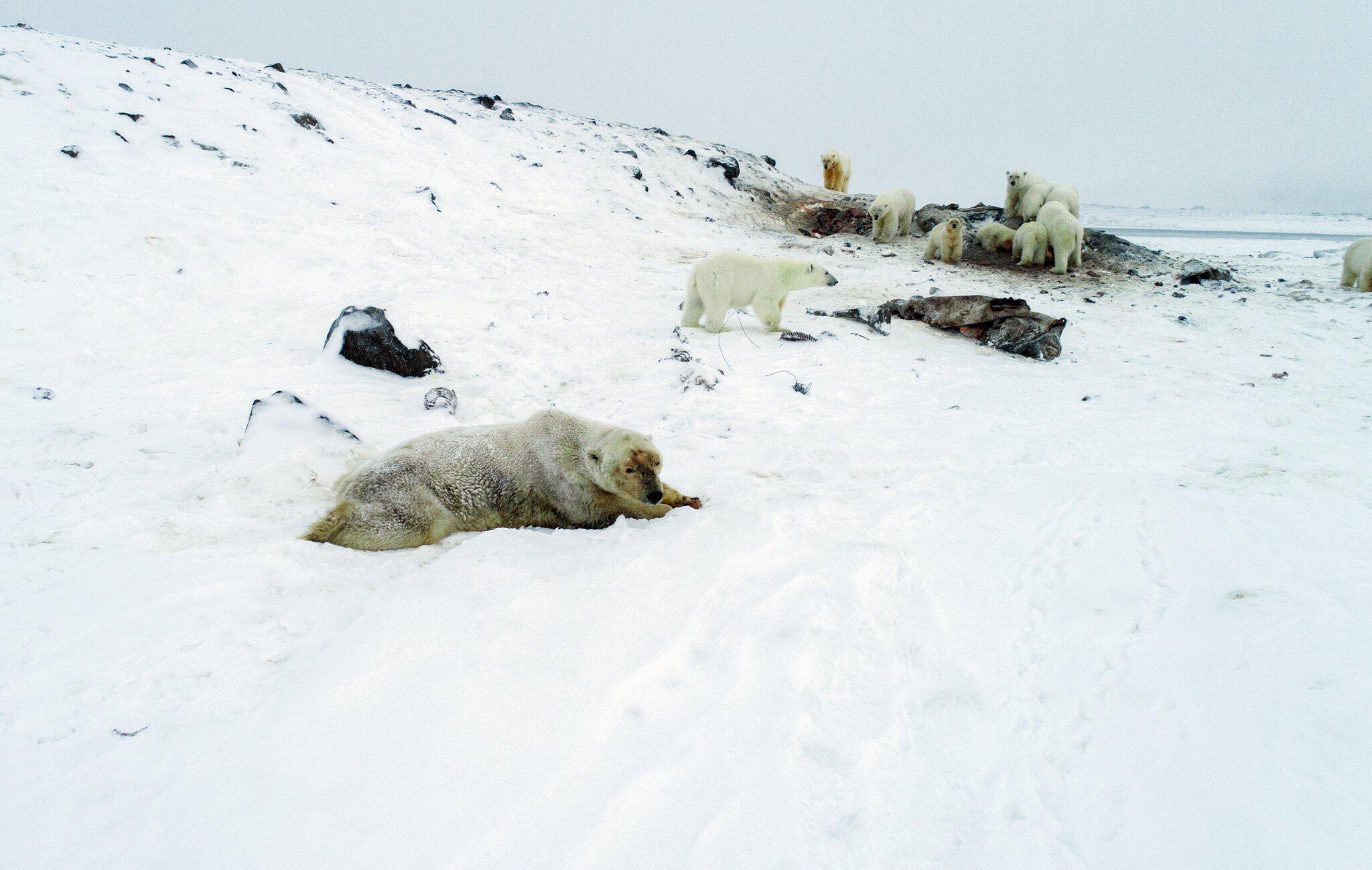 Bild zu Hungrige Eisbären nähern sich Dorf am Nordpolarmeer