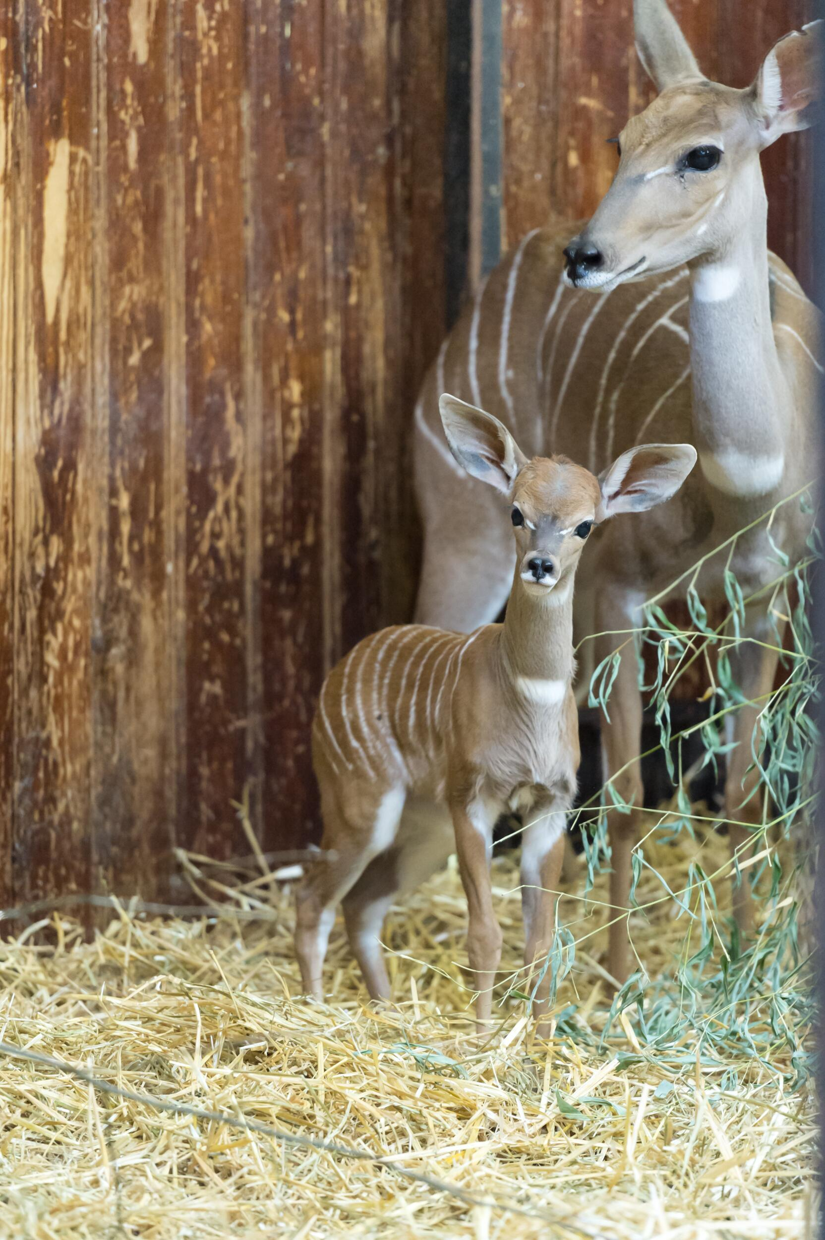 Bild zu Namib, Conny, Kleiner Kudu, Zoo Basel